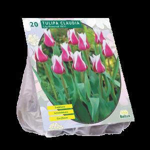 poza Bulbi de lalele Claudia 20 buc/punga, culoare mov cu alb, grupa Liliflora
