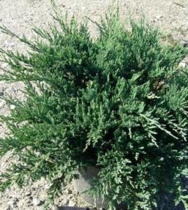 Poza Arbusti rasinosi Juniperus horizontalis Blue Chip