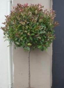 poza Arbusti evergreen PHOTINIA FRASERII  LITTLE RED ROBIN forma altoita 1/2, diam bila=40-50cm clt 15
