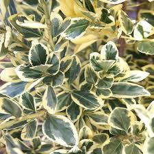 poza Arbust frunze persistente EUONYMUS JAPONICUS BRAVO, clt 25-30 h=100-125 cm