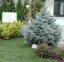 Arbori rasinosi / conifere talie mare