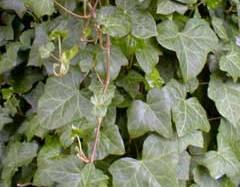 poza Plante agatatoare Hedera Helix, GHIV.P13  15/20CM