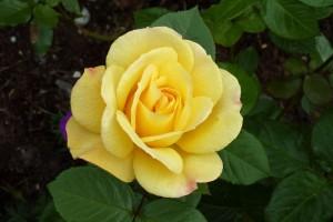 poza Trandafiri de gradina cu radacina ARTHUR BELL la ghiveci de 3 litri