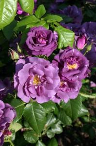 poza Trandafiri de gradina cu radacina RHAPSODY BLUE la ghiveci de 3 litri