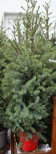 poza Picea abies -   molid la ghiveci la ghiveci C25 100/125 cm