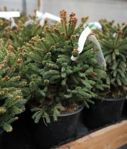 poza Picea abies Ohlendorfii - Molid la ghiveci  C4 h 25/30 cm