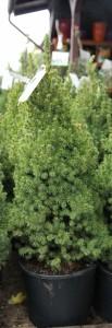 poza Picea Glauca Conica  C7.5 h=80/90 cm