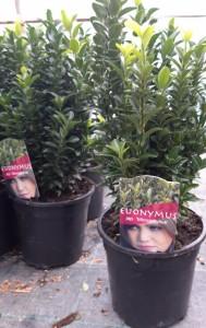 poza Arbust frunze persistente EUONYMUS MACROPHYLLUS, euonimus, C25 h=30/40 cm