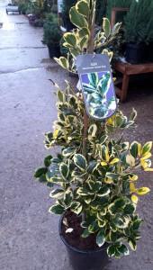 poza Arbust frunze persistente ILEX ALTACITRENSIA GOLDEN KING 60-80 cm
