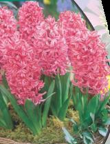poza Bulbi de zambile, Fondante, 1 buc/ghiveci, 9 cm culoare roz,