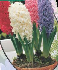 poza Bulbi de zambile, Mix, 3 buc/ghiveci, 12 cm culori diferite