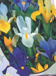 poza Bulbi flori de gradina Iris Hollandica 5 bulbi / ghiveci 12 cm