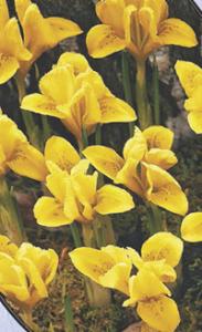 poza Bulbi flori de gradina Iris  Danfordiaea 3 bulbi / ghiveci 9cm