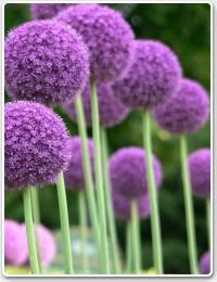 poza Bulbi de flori de gradina Alium , 3 bulbi / ghiveci 9 cm