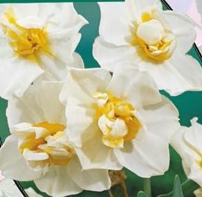 poza Bulbi de narcise 'NARCIS CHEERFULNESS' 3 buc/ghiveci, de 12 cm floare dubla