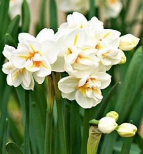 poza Bulbi de narcise 'Sir Winston Churchill' 3 buc/ghiveci 12 cm, floare alba dubla