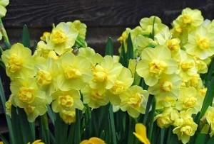 poza Bulbi de narcise Yellow Cheerfulness, 3 buc/ghiveci de 12 cm, floare batuta, galbena
