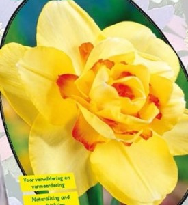 poza Bulbi de narcise 'NARCIS DUBBEL TAHITI'3 buc/ghiveci de 12 cm, floare galbena