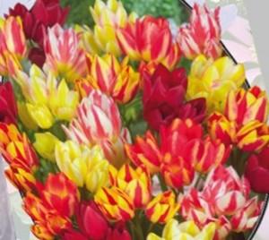 poza Bulbi de lalele  'TULIPA MULTIFLORA' 3 buc/ghiveci de 12 cm, culori mixte