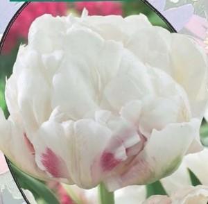 poza Bulbi de lalele  'TULIPA DUBBEL ICE WONDER' 3 buc/ghiveci 12 cm, culoare alba cu roz