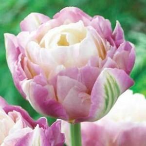 poza Bulbi de lalele Duble Sweet Desire , flori foarte mari, roz deschis, roz inchis, 3 buc/ghiveci de 12 cm flori batute,
