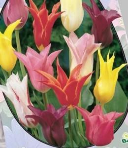 poza Bulbi de lalele TULIPA LELIEBLOEMIA MIX  3 buc/ghiveci de 12 cm, culori mixte, flori deosebite