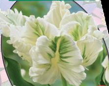 poza Bulbi de lalele grupa Papagal, White, 3 buc./ghiveci 12 cm, culoare alba