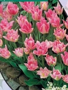 poza Bulbi de lalele  'TULIPA PEACH BLOSSOM'  3 buc/ghiveci 12 cm, culoare roz