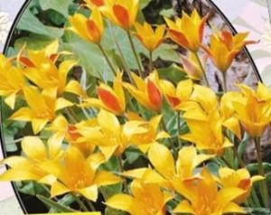 poza Bulbi de lalele  'TULIPA MINI KOLPAKOWSKIANA' 3 buc/ghiveci de 12cm, culoare galben pai