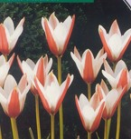 poza Bulbi de lalele  'TULIPA MINI WILD  CLUSIANA' 3 buc/ghiveci 12 cm, culoare rosu cu mijlocul alb