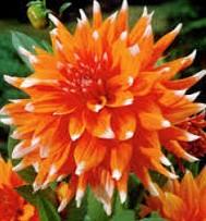 poza Bulbi flori primavara Dahlia `Color spectacle`, 1 radacina/pachet