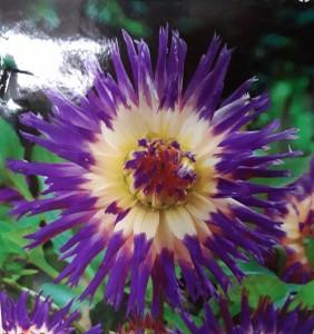 poza Bulbi flori primavara Dahlia `Veritable ` , 1 radacina/pachet