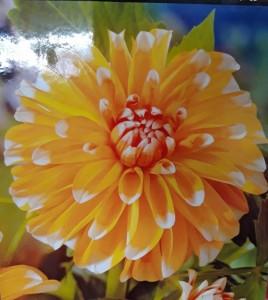 poza Bulbi de flori de primavara Dalie ' Bahama Apricot` (dalia) , 1 radacina / pachet
