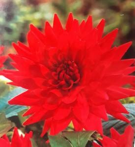 poza Bulbi primavara Dalii pampon `Babylon Red`  (dalia) , 1 radacina / pachet