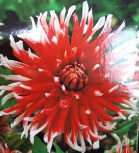 poza Bulbi de flori de gradina Dalie `Friquolet` (dalia) , 1 radacina / pachet