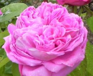 poza Trandafiri de dulceata cu radacina,  soiul `Rose de Peintres` in ghiveci de 3 litri