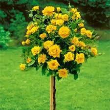 poza Trandafiri de gradina pe picior, soiul 'Freesia' cu radacina la ghiveci de 5 litri