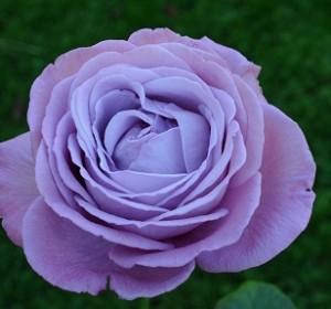 poza Trandafiri de gradina pe picior, soiul 'Blue Angel' la ghiveci de 5litri
