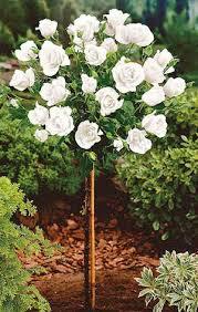 poza Trandafiri de gradina pe picior, soiul 'White' la ghiveci de 5 litri