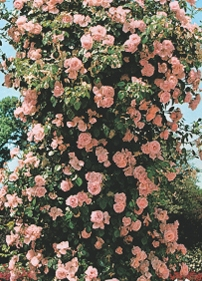 poza Trandafiri agatatori de gradina  la ghiveci de 5 l  Roz  h= 2m