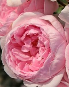 poza Trandafiri de gradina la ghiveci de 3 litri soiul 'Cinderella'