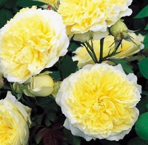 poza Trandafiri englezesti de gradina, cu radacina ambalata, soiul 'Pilgrim' cu licenta David Austin