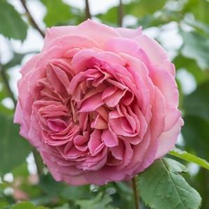 poza Trandafiri englezesti de gradina, cu radacina ambalata, soiul Jubilee Celebration cu licenta David Austin