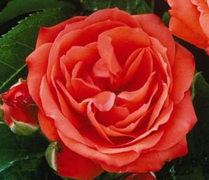 poza Trandafiri de gradina Floribunda cu radacini ambalate  Orange sensation