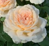 poza Trandafiri de gradina cu radacina ambalata  soiul Sweet Love