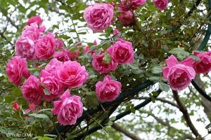 poza Trandafiri urcatori soiul Coral Dawn butasi cu radacina ambalata
