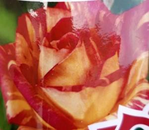 poza Trandafiri de gradina, butasi cu radacina ambalata 'Harry Wheatcroft'