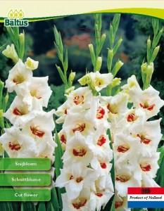 poza Bulbi de flori de primavara Gladiole `Fiorentina`, 7 bulbi / pachet