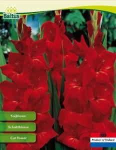 poza Bulbi flori gradina Gladiolus `Oscar`, 7 bulbi /pachet
