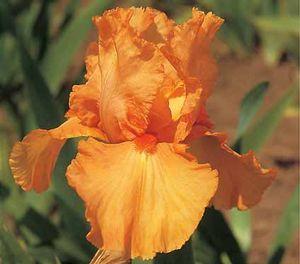 poza Bulbi de gradina `Iris germanica`, flori portocalii, pachet 3 bulb
